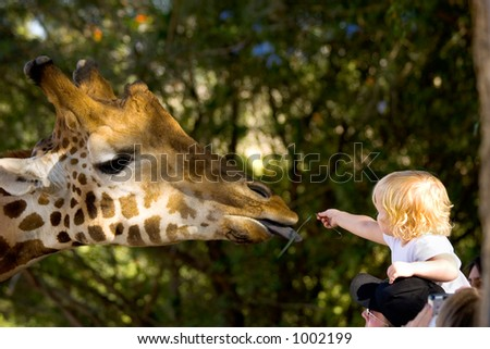 A young child reaching out from her fathers shoulders to feed a Giraffe in a zoo.