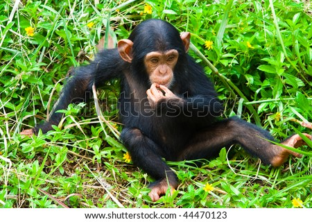 A young chimpanzee is thinking.