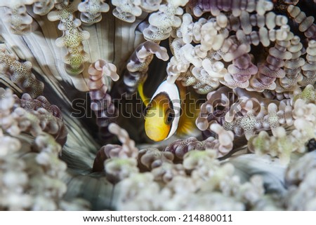 A young Clark's anemonefish (Amphiprion clarkii) snuggles into the tentacles of a host anemone (Heteractis aurora). This is a mutualistic symbiosis. - stock photo