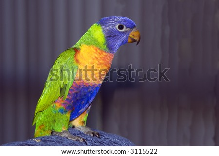 A young colourful Australian Rainbow Lorikeet close up. - stock photo