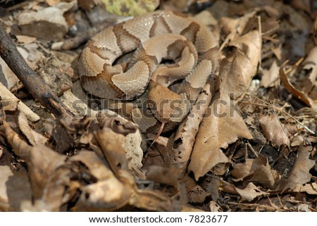 A young copperhead snake is hard to see when coiled among leaf litter on the forest floor. - stock photo