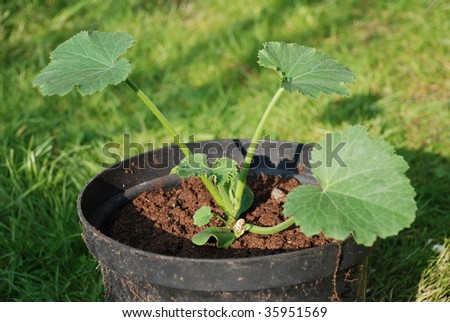 A young courgette plant growing in a black plastic pot.