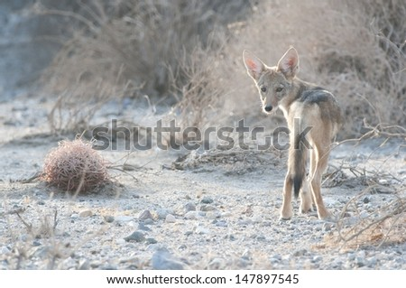 A young coyote in the desert. - stock photo