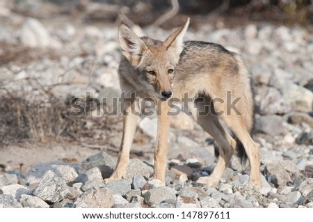 A young coyote in the desert.