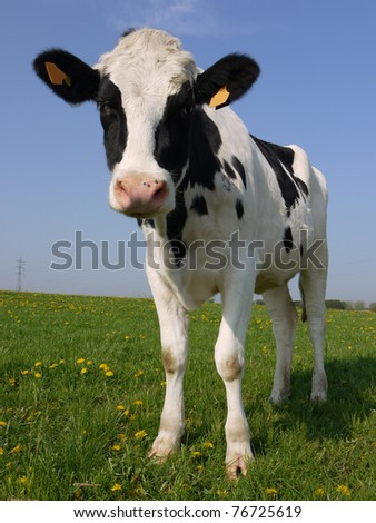 A young dairy cow in a spring pasture