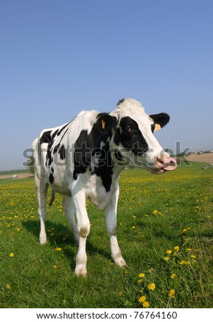A young dairy cow with its tongue in its nose - stock photo