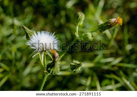 A young Dandelion blowball not completely opened, with a closed flower - stock photo