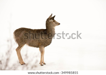 A young deer standing at the edge of a river after being chased by three coyotes.   After swimming across the river to get away from them, the water is frozen to his fur - stock photo