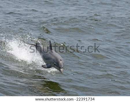 A young dolphin jumping out of the water.