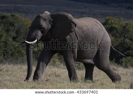 A young Elephant Bull rushes to get to the water