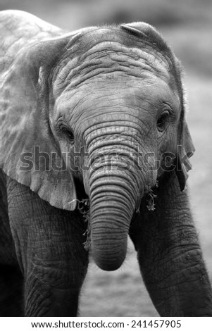 A young elephant calf  - stock photo