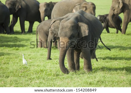 A young elephant in a herd of Sri Lankan elephant (the largest of four subspecies of the Asian elephant) in the Minneriya National Park, Sri Lanka  - stock photo