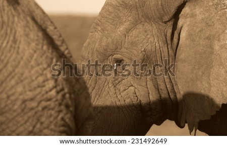 A young elephant stands next to his mother in this beautiful abstarct front on monochrome portrait,taken in Addo elephant national park,eastern cape,south afric - stock photo