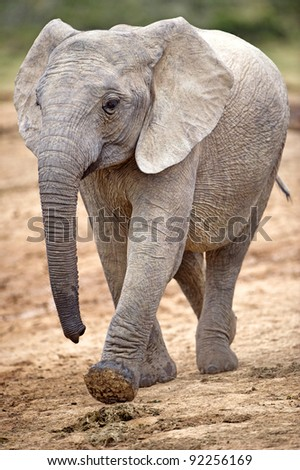 A young elephant walks fast towards the river - stock photo