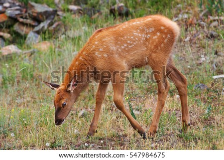 A young elk calf grazing in Yellowstone National Park, United States.