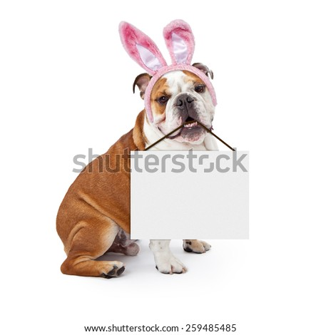 A young English Bulldog wearing Easter Bunny ears and holding a blank sign in his mouth - stock photo