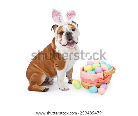 A young English Bulldog wearing Easter Bunny ears sitting next to a colorful basket of eggs - stock photo