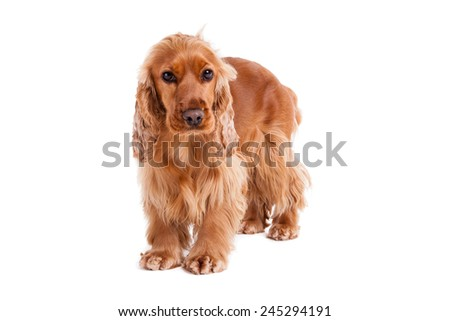 A young english cocker spaniel against a stark white background. The dog is standing. - stock photo