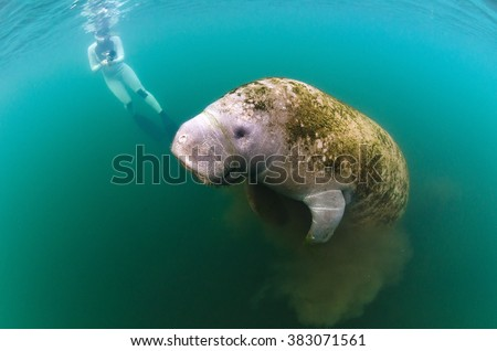 A young female films a manatee as it surfaces in Kings Bay while grazing on the algae in the bay. - stock photo