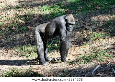 A young female gorilla ponders the day ahead. - stock photo