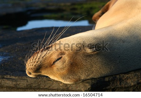 A young female sea lion sleeps under the afteroon sun on the galapagos islands of ecuador - stock photo