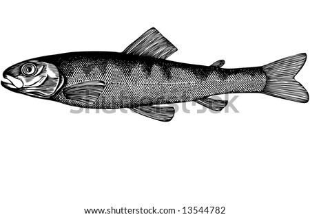 A young fish is very different from the old it is slightly more inches in length, disproportionately thick head overall color of her body fawn with a slight greenish hue and numerous cross dark spots