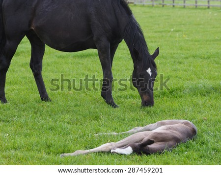 A young foal sleeps in a paddock.