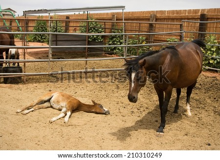 A young foal takes a nap in the corral next to his mother. - stock photo