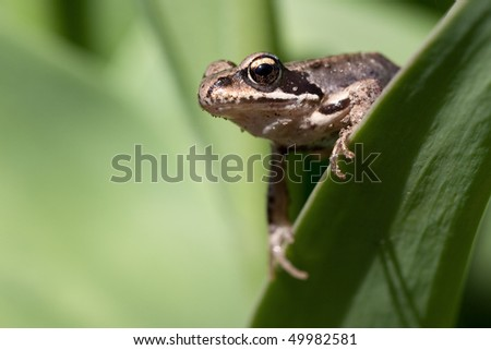 A young frog on a plant leaf - stock photo