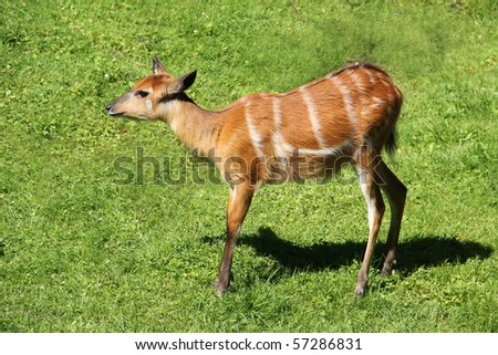 a young gazelle baby on green grass - stock photo