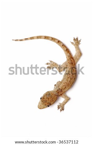 A young gecko isolated on white background.
