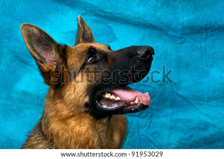 A young german shepherd dog in studio against blue backdrop looking up and right with his mouth open panting.