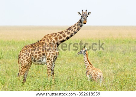 A young giraffe and his mother (Giraffa camelopardalis) in Serengeti National Park, Tanzania - stock photo