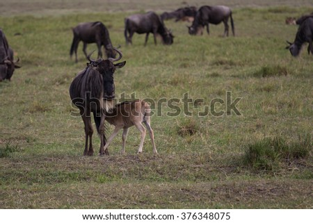 A young gnu calf diking at its mother in the Ngorongoro crater of Tanzania.