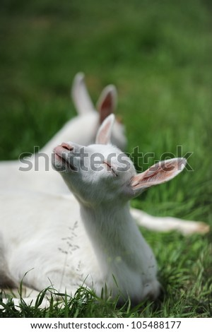 a young goat lying on a green meadow