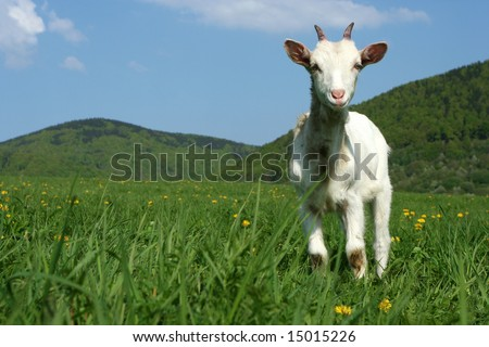 A young goat standing in a green pasture with hills at the background