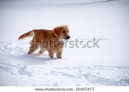 A young golden retriever playing in the snow with a ball in her mouth. - stock photo