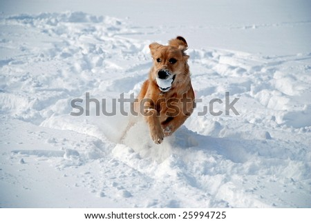 A young golden retriever running in the snow with a ball in her mouth. - stock photo
