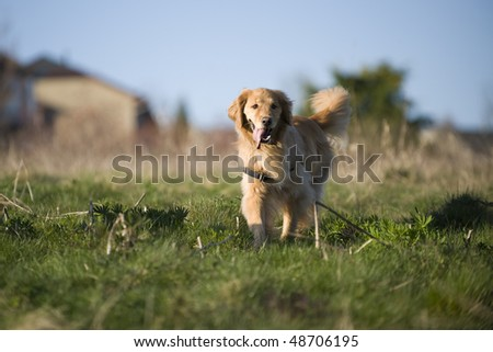 A young Golden Retriever walks in a field of mixed green and brown grass on a late winter afternoon.
