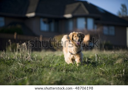 A young Golden Retriever walks in a field of mixed green and brown grass on a late winter afternoon. Homes are in the background. - stock photo