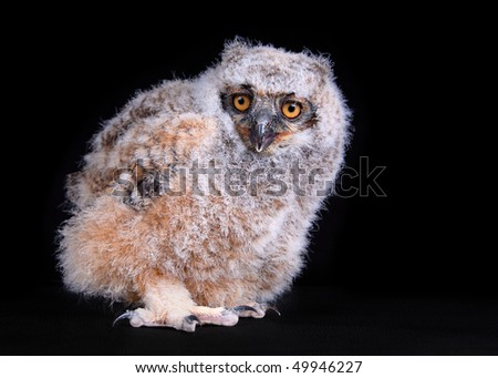 A young Great Horned Owl - stock photo