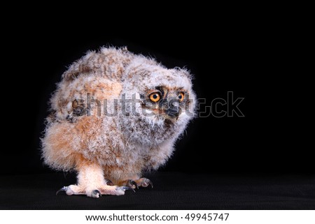 A Young Great Horned Owl on black - stock photo