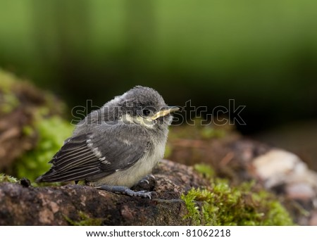 A young Great tit (Parus major) searching his mother an dwaiting steadily on the ground - stock photo