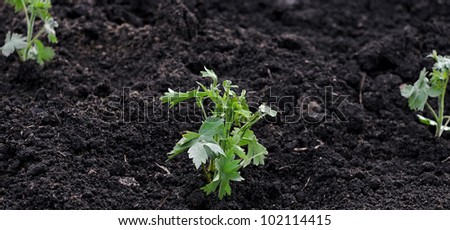 A young green plant growing out of soil. - stock photo
