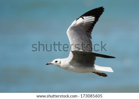 A young Grey-Headed Gull (Larus cirrocephalus) in flight - stock photo