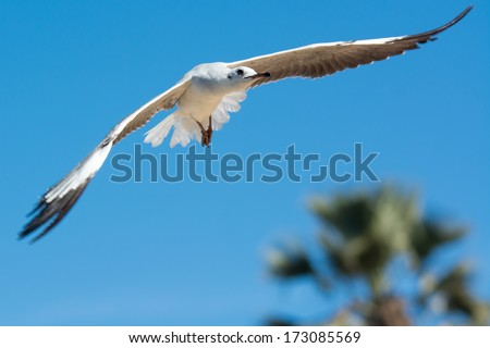A young Grey-Headed Gull (Larus cirrocephalus) in flight over a palm tree - stock photo