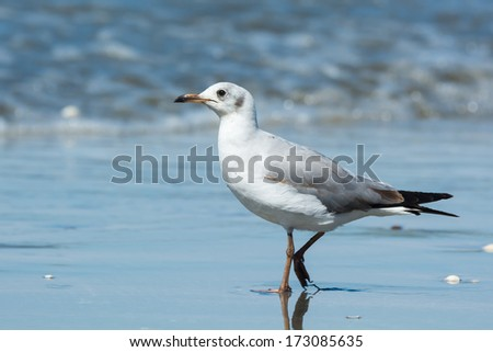 A young Grey-Headed Gull (Larus cirrocephalus) looking pensive on the beach - stock photo