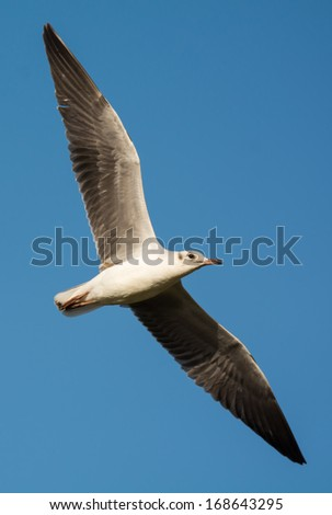 A young Grey-Headed Gull (Larus cirrocephalus) stretched out in flight - stock photo
