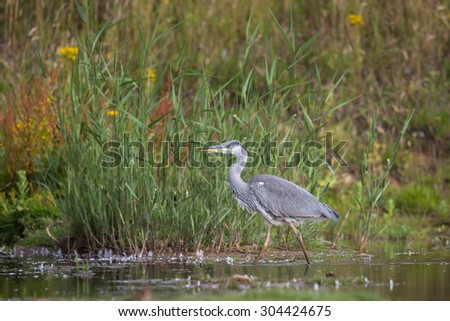 A young Grey Heron (Ardea cinerea) walking in water with a natural, blurred background, UK - stock photo