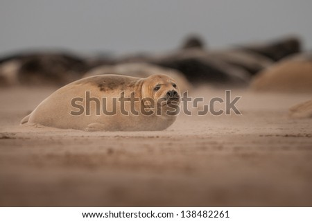 A young Grey Seal pup in a sandstorm on a Lincolnshire beach. - stock photo